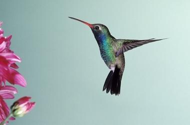 hummingbird13%20%28640x424%29.jpg