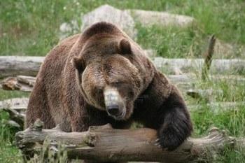 log-bear.jpg