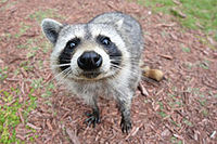raccoon-stare.jpg