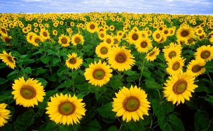 sunflowers%20%28440x272%29.jpg